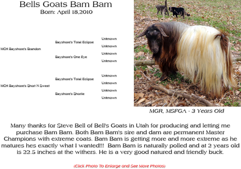 Silky Buck - Bells Goats Bam Bam - Many thanks for Steve Bell of Bell's Goats in Utah for producing and letting me purchase Bam Bam. Both Bam Bam's sire and dam are permanent Master Champions with extreme coats. Bam Bam is getting more and more extreme as he matures hes exactly what I wanted!!!  Bam Bam is naturally polled and at 2 years old is 22.5 inches at the withers. He is a very good natured and friendly buck.