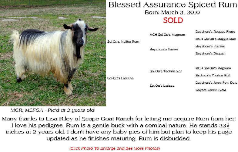Silky Buck - Blessed Assurance Spiced Rum - Many thanks to Lisa Riley of Scape Goat Ranch for letting me acquire Rum from her! I love his pedigree. Rum is a gentle buck with a comical nature. He stands 23 inches at 2 years old. I don't have any baby pics of him but plan to keep his page updated as he finishes maturing. Rum is disbudded.