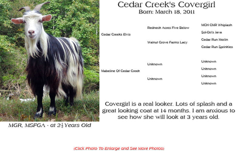Silky Doe - Cedar Creek's Covergirl - Covergirl is a real looker. Lots of splash and a great looking coat at 14 months. I am anxious to see how she will look at 3 years old.