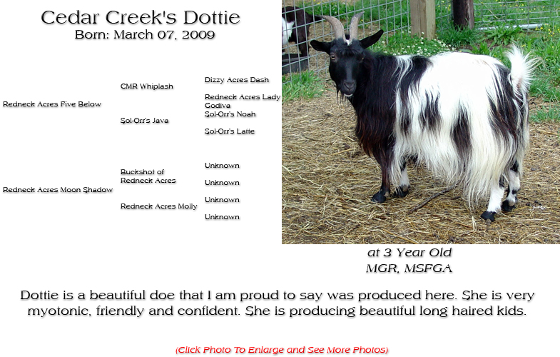 Silky Doe - Cedar Creek's Dottie - Dottie is a beautiful doe that I am proud to say was produced here. She is very myotonic, friendly and confident. She is producing beautiful long haired kids.