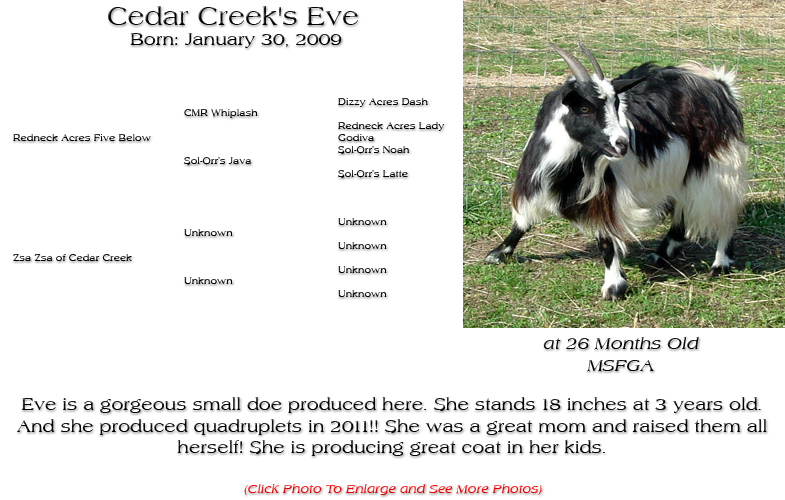Silky Doe - Cedar Creek's Eve - Eve is a gorgeous small doe produced here. She stands 18 inches at 3 years old. And she produced quadruplets in 2011!! She was a great mom and raised them all herself! She is producing great coat in her kids.