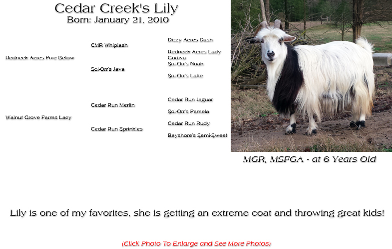 Silky Doe - Cedar Creek's Lily - Lily is one of my favorites, she is getting an extreme coat and throwing great kids!
