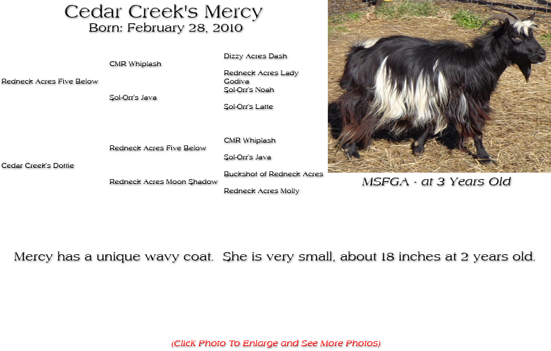 Silky Doe - Cedar Creek's Mercy - Mercy has a unique wavy coat.  She is very small, about 18 inches at 2 years old.